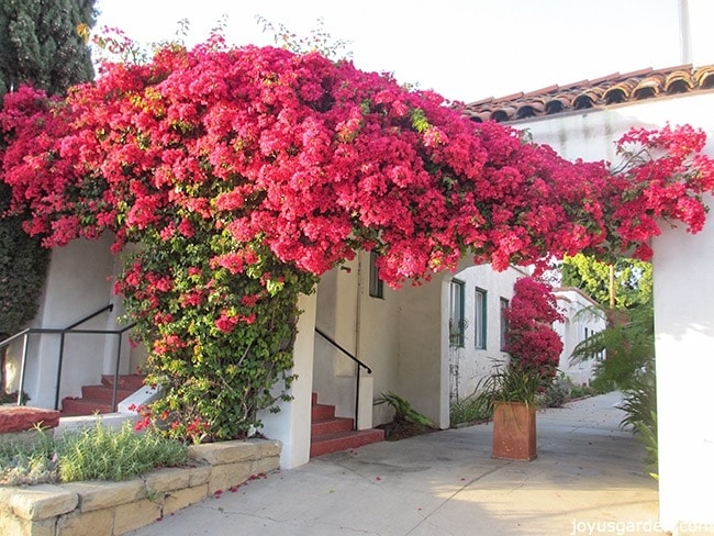 how-to-grow-bougainvilleas-_new